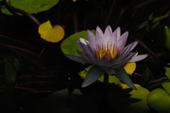 水面の艶花…4