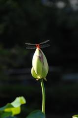 古刹池の蜻蛉…