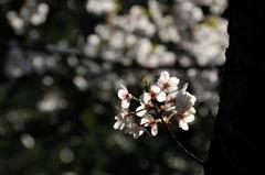 古都の薄桜色…7