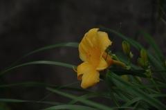 絢爛に咲く忘れ草…1