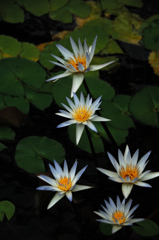 揃い咲きの淡青睡蓮…