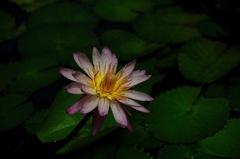 盛夏の艶水花…