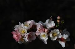 春寺の色分花…1