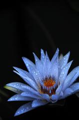 魅惑の淡青花…