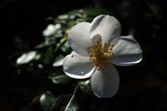 白影の麗花…