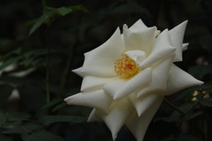 古都の秋バラ…6