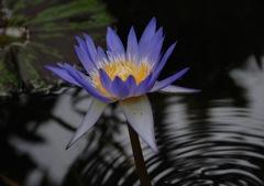 残夏の水麗花…1