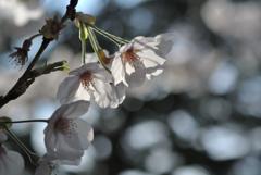 古都の薄桜色…3