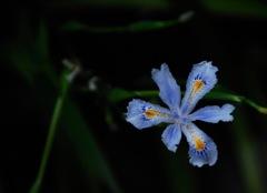 春来の日陰花…
