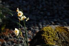 瑞泉寺の白小花…2