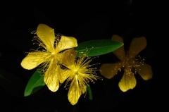 梅雨晴の黄金花…1