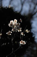 寒中の白花…2