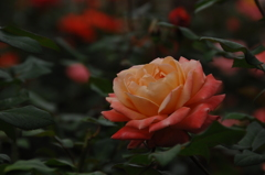古都の秋バラ…5