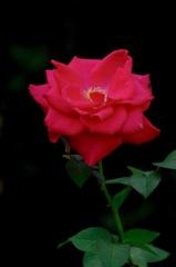 秋中の麗赤花…1
