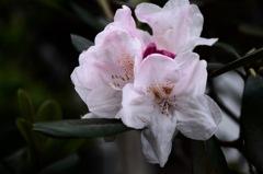寺庭の淡紅花…