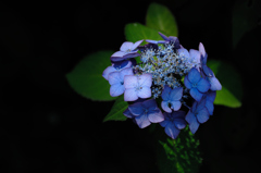 古都の色変花…9