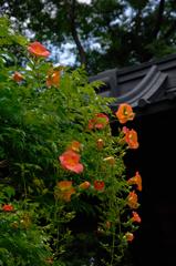 初夏の赤紅色…1