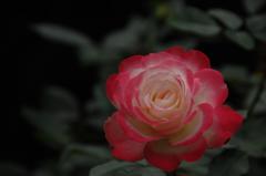 古都の秋バラ…3