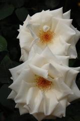 春光に映える薔薇…14