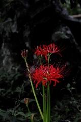 真紅の艶花…1