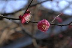 新春の古刹 妙本寺の紅梅…1