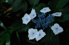源氏山の梅雨花…4