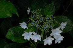 古都の色変花…8