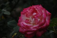 古都の秋バラ…13