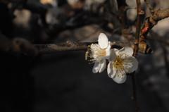 冬光に映える白梅…1