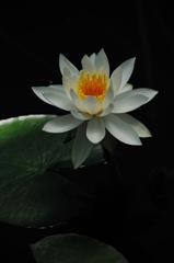 皐月の白水花…
