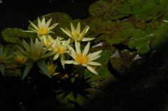 水面の艶花…3