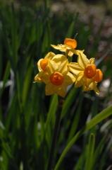 春光に映える黄房水仙…