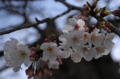 春に仄かな桜色…1