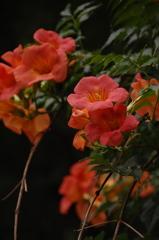 古都に咲く凌霄花…2