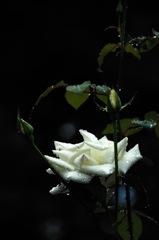 古都の秋麗花…6