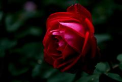 追憶の秋麗花…1