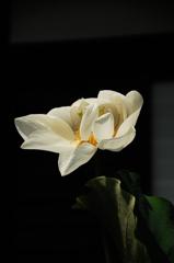 白蓮の羽衣…