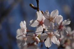鎌倉桜の薄桜色…