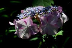 古都の色変花…14