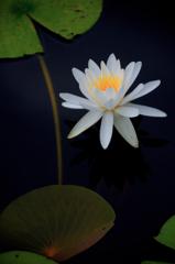 純白の水麗花…