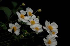 名刹の秋明菊…2