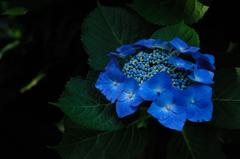 源氏山の梅雨花…1