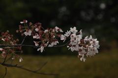 来年もまた、薄桜色…