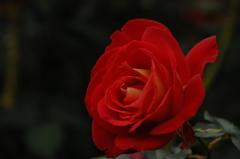 古都の秋バラ…12