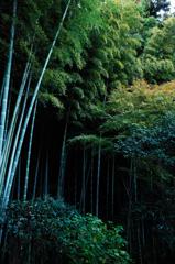冬緑の竹林…1