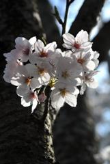 古都の薄桜色…2