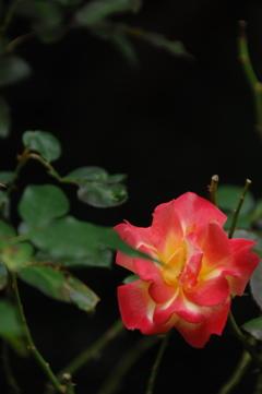 古都の秋バラ…9