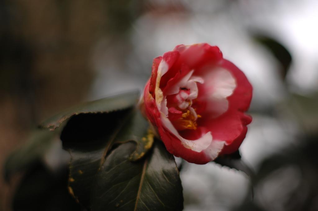 古庭に咲く斑赤2…