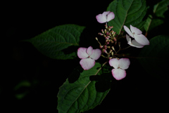古都の色変花…16