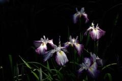 来夏の美顔花…2